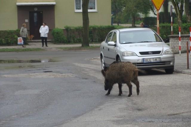 To zwierzę chodziło po osiedlu NDM.