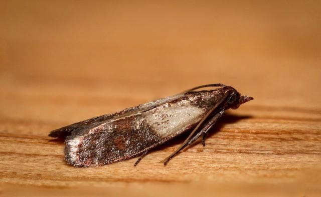 Mole spożywcze zanieczyszczają produkty spożywcze, sprawiając że są one niezdatna do użycia. Molami spożywczymi najczęściej spotykanymi w domach są: omacnica spichrzanka (Plodia interpunctella) i mklik mączny (Ephestia kuehniella).