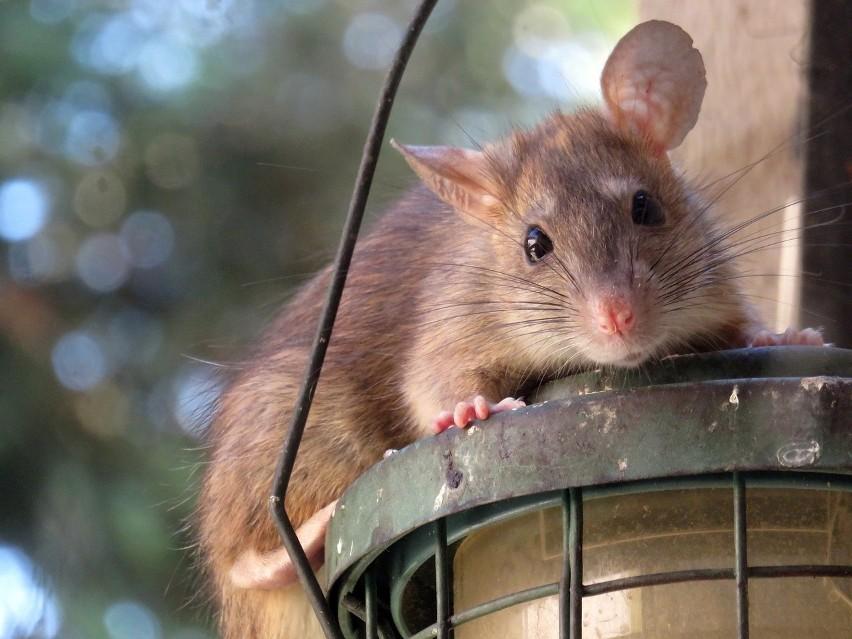 Osoby urodzone w roku Szczura w 2020 r. powinny zachować...