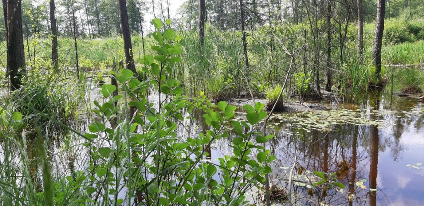 Jest pomysł, by w lesie obok Ignatek-Osiedla powstała ścieżka edukacyjna. Pomysłodawczyni chce iść do wójta