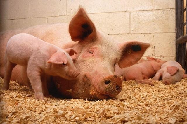 W powiecie tucholskim jest coraz mniej świńskich stad
