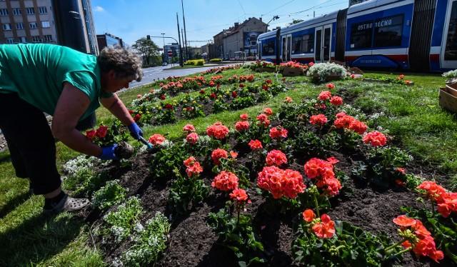 Dzisiaj na przykład firma będzie działać na rynku w Starym Fordonie. - Sadzimy kwiaty jednoroczne i staramy się, żeby efekty naszej pracy cieszyły oczy bydgoszczan. Z wielu opinii, które do nas docierają wynika, że osiągamy swój cel. Ludzie zatrzymują się i podziwiają nasze kwiaty - mówią w firmie, która zajmuje się nie tylko zielenią miejską, ale także lasami komunalnymi oraz tak zwanymi zabytkowymi zespołami zieleni, współpracując między innymi z Międzynarodową Radą Ochrony Zabytków oraz Ministerstwem Kultury i Dziedzictwa Narodowego.