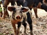 Wielkie kłopoty ze sprzedażą świń w Świętokrzyskiem. Rolnicy winią ASF