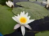 Czytelnik: w Lubrzy pojawiły się nenufary i są naprawdę przepiękne. Przypominamy: podziwiaj lilie wodne, ale ich nie niszcz! Są pod ochroną