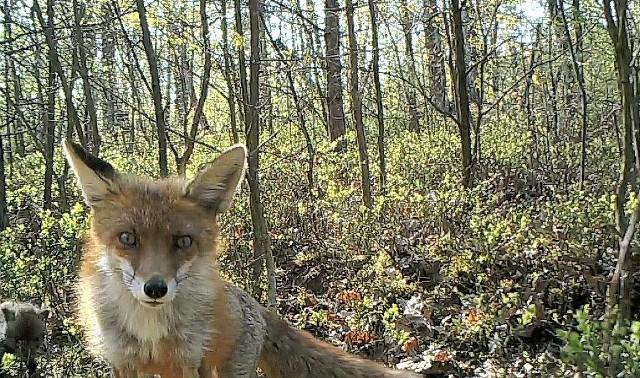 Co robią zwierzęta po zmroku, albo gdy nie ma ludzi dookoła? Gdzie w upalne dni szukają ochłody? Czy ma je kto podrapać za uchem? Jak radzą sobie z drapieżnikami? Zobaczcie zdjęcia i filmy fantastycznych zwierząt żyjących w wielkopolskich lasach. Przejdź do kolejnego zdjęcia --->