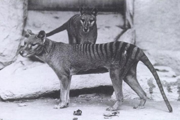 Wilkowór tasmański...