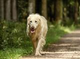 Spacer z psem w lesie. O czym trzeba pamiętać? Smycz, woda i adresownik. Oto zasady bezpiecznego spaceru z psem w lesie