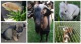 Zwierzaki do oddania za darmo z Nowej Soli i okolicy. Zobacz, może przygarniesz któregoś z nich?