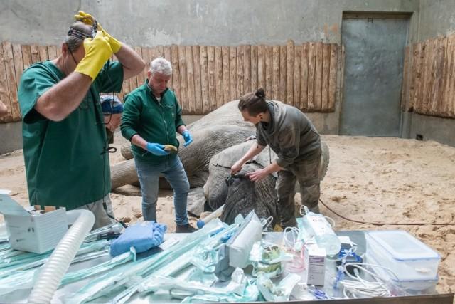 Dla egzotycznych zwierząt poznański ogród zoologiczny to stały dom. Pracownicy ogrodu wkładają wiele w sił to, by zwierzęta miały tam jak najlepiej, chociaż nie są w stanie zapewnić im warunków, jakie miałyby w naturze. Czuwają jednak nad ich zdrowiem i bezpieczeństwem. Niekiedy zoo bardziej przypomina więc bardziej szpital niż dom.Czytaj dalej -->