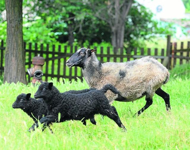 """""""Żywe kosiarki"""" ochronią łąkiOwce wrzosówki dzięki gęstemu runu są odporne na mrozy, mogą przebywać na pastwiskach przez cały rok"""