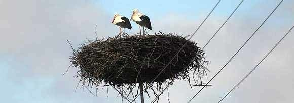 Członkowie Klubu Ptaków Polskich ułożą największego na świecie bociana