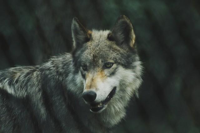 Planowany odcinek może ich zdaniem stanowić zagrożenie dla życia wilków i rysi