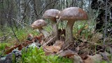 Gdzie są grzyby? Pierwsze grzyby pojawiły się w lasach. Prawdziwki, podgrzybki, zajączki, koźlaki! 14.06.2021
