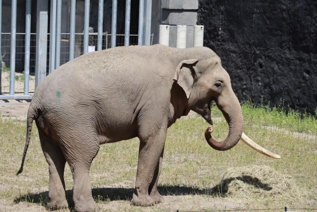 Łódzkie Orientarium pochwaliło się pierwszym czworonożnym lokatorem powstających tu pawilonów wystawowych. To słoń Aleksander, pierwszy z trzech słoni indyjskich, jakie mają stać się główną atrakcją Orientarium. Ich lokum jest już gotowe. Składa się w pomieszczenia, w którym słonie będą spały, wybiegu wewnętrznego z basenem oraz wybiegu zewnętrznego również z rozległym i głębokim akwenem.CZYTAJ DALEJ >>>.