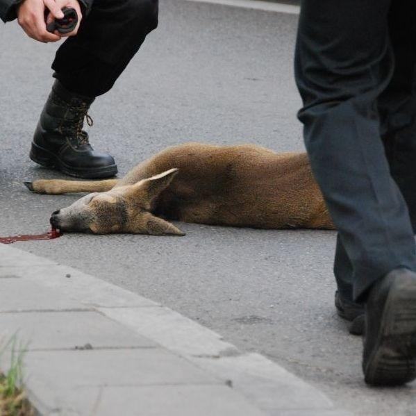 Sarenka, która biegala po ulicach Bialegostoku, nie zyje. Wpadla pod samochód podczas próby zlapania jej