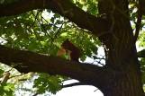 ZIELONA GÓRA Aż 817 drzew zostanie wyciętych w Parku Braniborskim. Dlaczego?