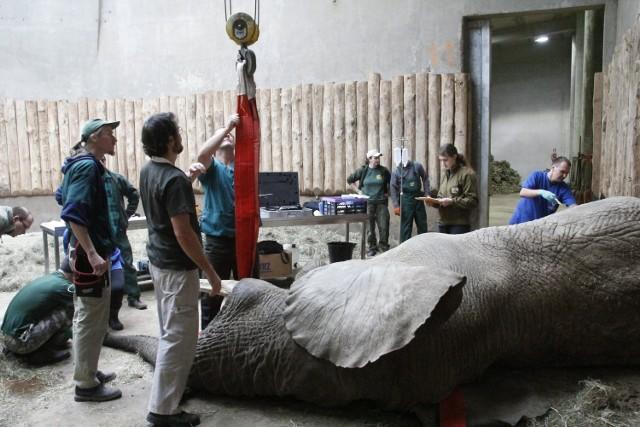 Nowe Zoo: Zębowy problem Ninia. Słoń przeszedł poważną operację