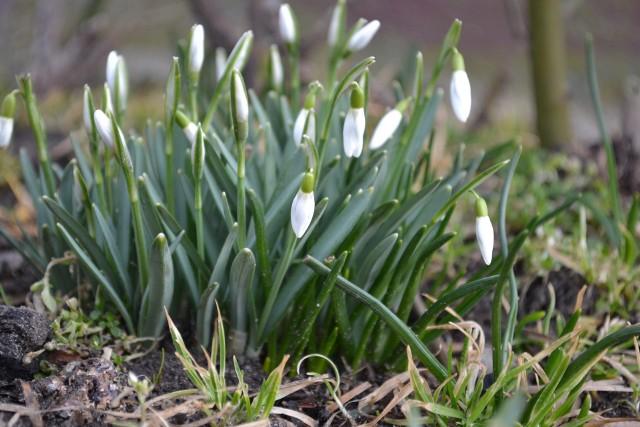 Przebiśniegi w ogrodzie Nie należy martwić się o pielęgnację przebiśniegów. Nie szkodzi im mróz ani nadmierne ciepło, nie mają też szczególnych wymagań co do uprawy.