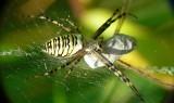 Jadowite pająki w lubuskich lasach! Jak wyglądają i gdzie występują? Tych gatunków unikaj!