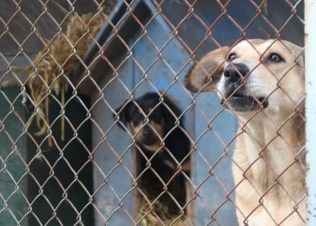 Te psy są za siatką. Czasami udaje im się uciec.