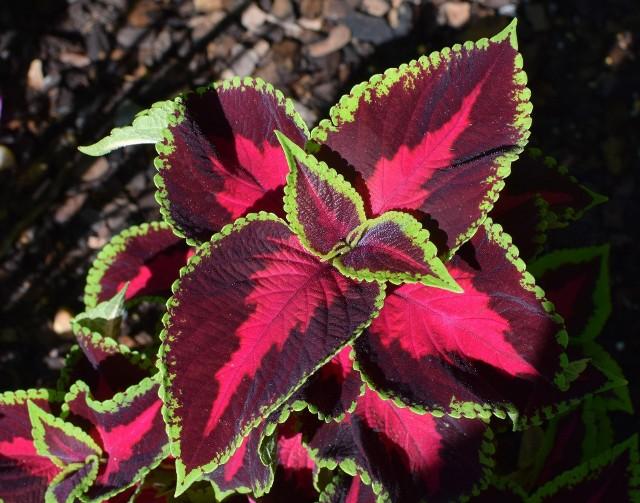 To absolutny zwycięzca konkursu na roślinę o najbardziej kolorowych liściach. Koleusy Blumego (Coleus blumei), zwane też pokrzywką brazylijską, mogą mieć liście w niemal wszystkich kolorach, łącznie z czerwonym, bordowym i fioletowym, są też złociste, pomarańczowe, żółtawe i kremowe oraz wiele odcieni zieleni. W dodatku kolory są głębokie, nasycone i tworzą przeróżne wzory, w niemal dowolnych zestawieniach kolorystycznych.Koleusy Blumego to rośliny średniej wielkości, doskonale nadają się także do uprawy w doniczkach. Muszą mieć słońce i wilgotną, ale przepuszczalną ziemię. Kiepsko znoszą i przesuszenie, i zbyt mokre podłoże. Nie są odporne na mróz, ale można je przezimować w chłodnym i jasnym pomieszczeniu. Koleusy mają też kwiaty, ale daleko im do urody liści tych roślin.
