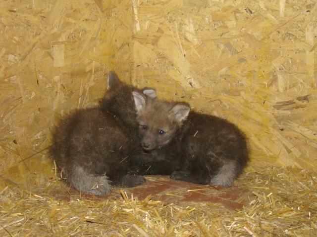 Wilki w Śląskim Ogrodzie Zoologicznym