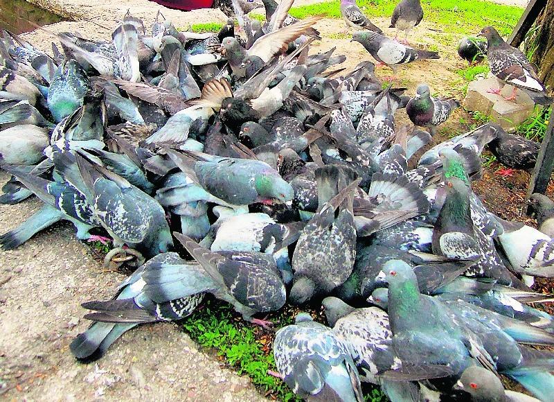 Dokarmianie gołębi sprzyja ich nadmiernemu rozmnażaniu....