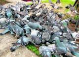 Latem można zaprzestać dokarmiania miejskich gołębi