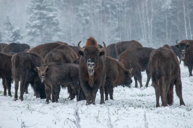 Tak wyglądało stado żubrów w styczniu na polach między Krynkami a Szudziałowem. W te rejony często przyjeżdża fotografka przyrody Katarzyna Grusza.