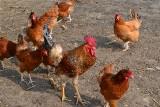 Grypa ptaków. Całe Kujawsko-Pomorskie obszarem zagrożonym z zakazem handlu drobiem na targowiskach