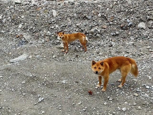 Śpiewające psy z Nowej Gwinei to rasa, która przez pięć dekad z rzędu była uznawana za wymarłą na wolności. Ostatnio świat obiegła dobra nowina - rzadki pies został właśnie zauważony przez naukowców na odległych wyżynach prowincji Papua w Indonezji.  credit: Anang Dianto
