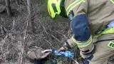 Strażacy z Dolic ratowali borsuka, który wpadł do studzienki. Napoili zwierzę wodą mineralną