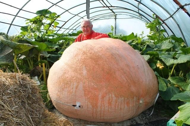 Tak wygląda największa dynia Jana Styry. Gdyby nie plaga ślimaków, mogłaby osiągnąć nawet 700 kg.