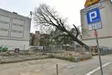 Wycięto stuletnie drzewo na ul. Gajowej. Rozmowy o zatrzymaniu wycinki i protesty nie przyniosły efektu. Kasztanowiec przegrał z deweloperką