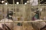 Targi gołębi pocztowych w Sosnowcu w hali EXPO Silesia potrwają do niedzieli ZDJĘCIA + WIDEO W programie wiele atrakcji