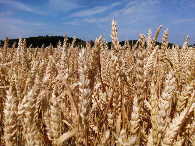 Cena pszenicy w czerwcu 2021 była wyższa od ubiegłorocznej średniej o 19,4%, podał GUS.