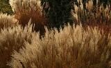 Miskanty w ogrodzie. Ozdobne trawy kwitnące jesienią. Uprawa i pielęgnacja