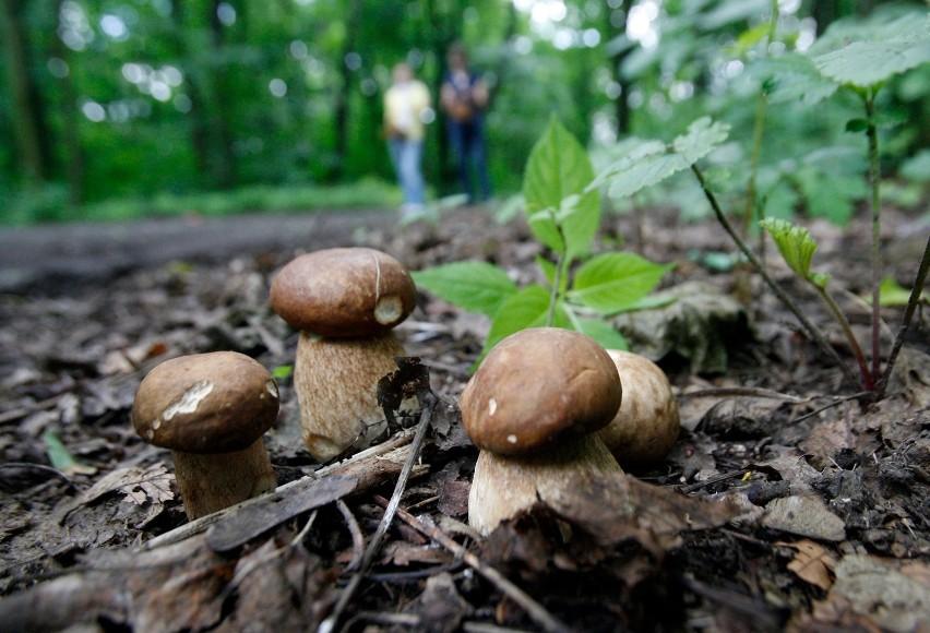 Doświadczeni grzybiarze pilnie strzegą swoich pewnych...