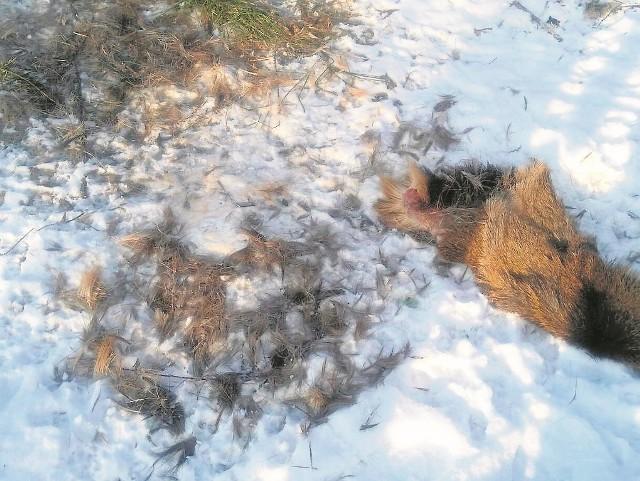 Z jelenia zostały tylko szczątki. Kawałki sierści i szkielet.