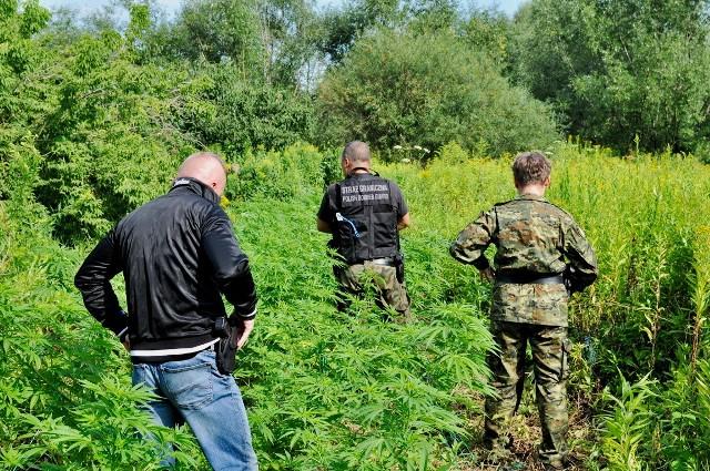 Nielegalna plantacja konopi indyjskich zlikwidowana w Wysocku w gminie Laszki.