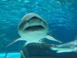 Tragedia w Egipcie! Rekin ludojad zaatakował nurka. Czeski turysta nie żyje