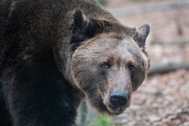 Cisna to dziś już dorosły niedźwiedź.