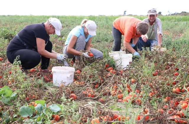 Przy zbieraniu pomidorów pracują przede wszystkim panie.