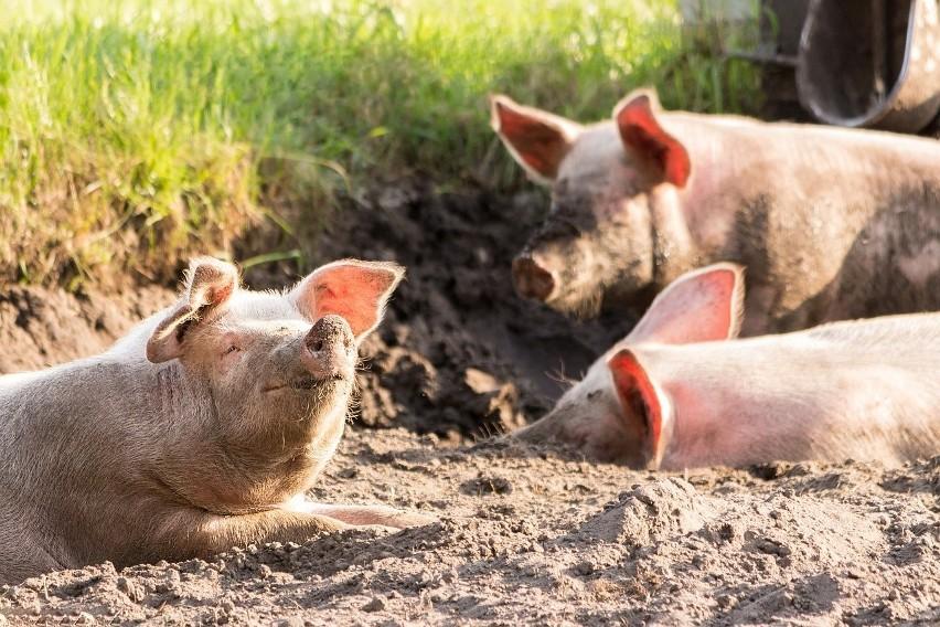Co dalej ze zwalczaniem afrykańskiego pomoru świń?