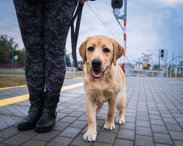 Fundacja Labrador Pies Przewodnik od 2005 roku wyszkoliła 61 psów przewodników.