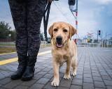 Chcesz przez rok opiekować się małym labradorem? Zostań wolontariuszem Fundacji na Rzecz Osób Niewidomych Labrador Pies Przewodnik