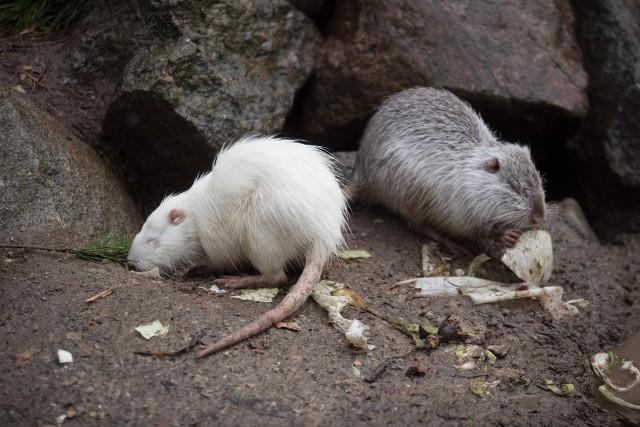 Z wizytą w ZOO w Dolinie Charlotty. Urodziły się cztery młode kapibary