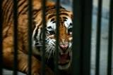 Tygrysy upchnięte w ciężarówce na granicy. Film o ich koszmarze pokazany w Brukseli. Czy zmieni się unijne prawo?