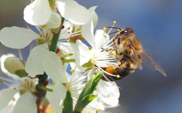 Pszczoła miodnaPszczoły zapylają kwiaty ozdobne oraz wiele roślin uprawnych. Na świecie blisko 20 proc. roślin zapylanych jest przez wiatr, a pozostałe 80 proc. – przez owady (najczęściej pszczołowate). Polska leży w strefie klimatycznej, w której około 90 proc. roślin zapylanych jest przez owady, a największą rolę w zapylaniu odgrywa pszczoła miodna.
