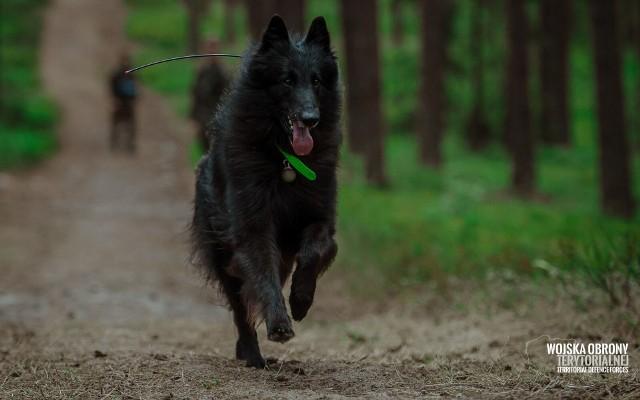 Ares – owczarek belgijski groenendael pierwszym psem poszukiwawczo - ratowniczym w Wojsku Polskim